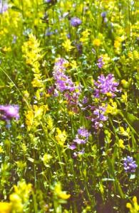 Caucasan_Blütengelb